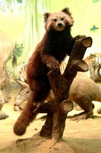 "Red Panda in the ""Abel's Ark"" Gallery"