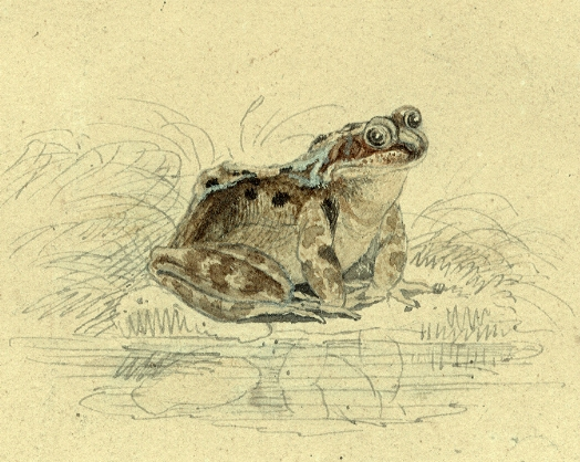 Watercolour of a frog by Thomas Bewick (c.1790s). From the archive of the Natural History Society of Northumbria