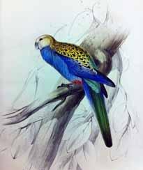 Paleheaded Parakeet