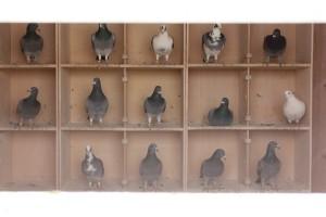 Pigeon Crees - Benwell