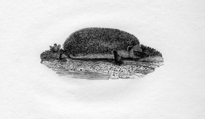 A wood engraving of a Hedgehog by Thomas Bewick