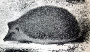 Hedgehog illustration attributed to Edward Lear