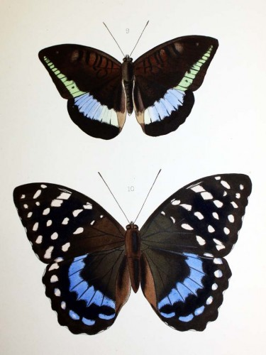 Image from Hewitson's Illustrations of New Species of exotic butterflies