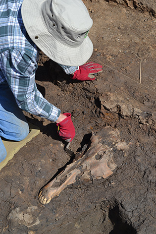 A horse's skull under excavation at South Shields Roman Fort